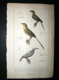Cuvier C1835 Antique Hand Col Bird Print. Thrush Billed Nuthatch, Tessellated Nuthatch, European Nuthatch, 27